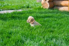 Puppy cocker spaniel sits on green grass and looks into the distance stock images