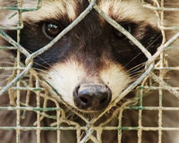 The sad  look of a raccon behind the cage Royalty Free Stock Photos
