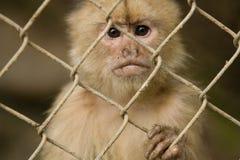 Monkey behind fence. Sad look on small monkey behind fence Royalty Free Stock Images
