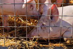 Sad look of two pig in cage laying on straw Stock Image