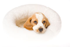 Sad looking Beagle puppy inside white fur bed Royalty Free Stock Images