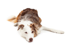 Sad Looking Border Collie Dog Laying Royalty Free Stock Photography