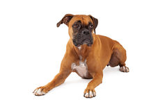 Sad Looking Boxer Dog Laying Royalty Free Stock Images