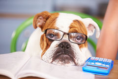 Sad Looking British Bulldog Pretending To Be Businessman Royalty Free Stock Photography