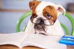Sad Looking British Bulldog Pretending To Be Businessman Royalty Free Stock Image