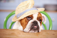 Sad Looking British Bulldog Wearing Straw Hat Royalty Free Stock Image