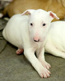 Sad looking bull terrier puppy Stock Images