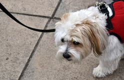 Sad looking dog being taken for a walk. royalty free stock photo