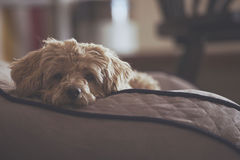 Sad looking dog on its bed Stock Images