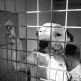 Sad looking dog in a kennel at an animal rescue shelter. Black and white image of Staffordshire bull terrier looking out of a kennel at a rescue centre for dogs Royalty Free Stock Photography