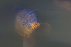 A sad looking fish Royalty Free Stock Photography