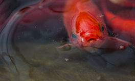 Sad looking fish at surface of pond. Close up of fish on pond surface Royalty Free Stock Photography