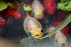 Sad looking fish at surface of pond. Close up of fish on pond surface Stock Photos
