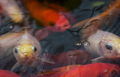 Sad looking fish at surface of pond. Close up of fish on pond surface Stock Photo