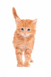 Sad looking ginger kitten with a white background Royalty Free Stock Photo