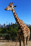 Sad-looking Giraffe. In Sydney Royalty Free Stock Photography