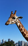 Sad-looking Giraffe. In Sydney Royalty Free Stock Photos