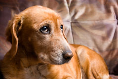 Sad looking golden dog laying on the couch Royalty Free Stock Photo