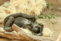 The sad looking gorila is relaxing in the zoo. Lying on the ground and looking thoughtful royalty free stock photo