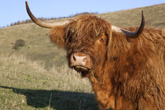 Sad looking highland cow Royalty Free Stock Photos