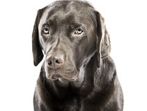 Sad Looking Labrador with Blue Eyes Royalty Free Stock Images