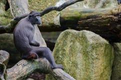 Sad looking macaca Stock Photo