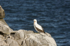 Sad looking nazca booby on a rock. Royalty Free Stock Images