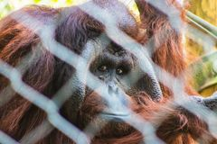 Sad looking orangutan peering through the fence stock images