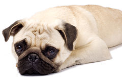 Sad looking pug Royalty Free Stock Photography