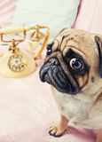 A sad looking pug waiting by the phone Royalty Free Stock Photo