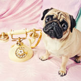 A sad looking pug waiting by the phone Royalty Free Stock Images