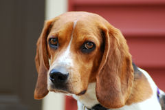 A Sad (looking) Puppy (Beagle) Stock Photography