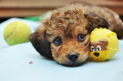 Expressive eyes puppy stock image