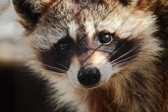 Sad Looking Raccoon Close-Up. A close-up photo of the face of a small raccoon sitting in his zoo enclosure royalty free stock photo