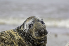 Sad looking seal with puppy eyes Royalty Free Stock Photos