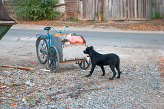 Sad looking street dog scavenging in rubbish cart of human scavenger Royalty Free Stock Image