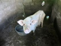 Free Sad Looking Thin Pig In Pigsty Royalty Free Stock Images - 146647489