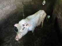 Sad looking thin pig in pigsty stock images