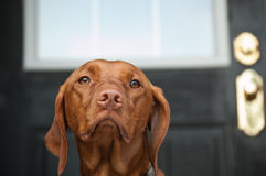 Sad Looking Vizsla Dog Waiting by the Door Royalty Free Stock Image