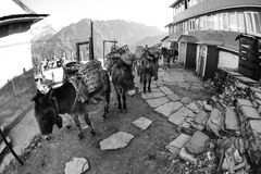 Sad looking Work Mules, in Nepal, Fisheye. Somewhat sad looking Mules carrying cargo up to Ghorephani, on Poon Hill Trek outside of Pokhara, Nepal Royalty Free Stock Images