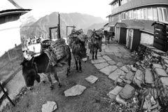 Sad looking Work Mules, in Nepal, Fisheye Royalty Free Stock Images