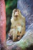 Sad macaque - Macaca nemestrina. Sad macaque sitting on the tree - Macaca nemestrina Royalty Free Stock Photos
