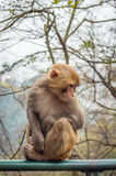 Sad macaque monkey Stock Photo