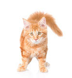 Sad maine coon cat looking at camera. isolated on white backgrou. Nd Royalty Free Stock Photos