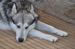 Sad Malamute Royalty Free Stock Images