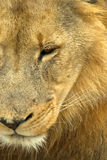 Sad male lion royalty free stock photos
