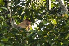 Sad Male Proboscis Monkey Peeking through Leaves Stock Images
