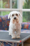 Sad Maltese dog after grooming Royalty Free Stock Images