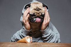 Sad man with pug dog head droped down ice-cream Stock Photos