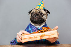 Sad man with pug dog head holding gift box Royalty Free Stock Photos